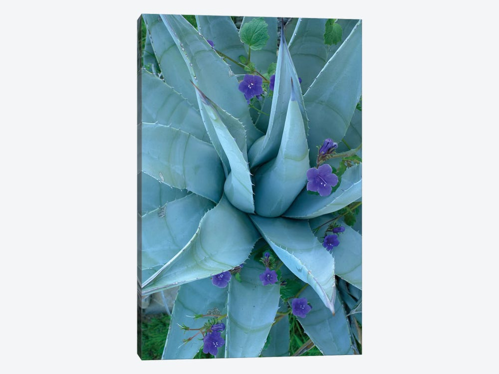Bluebell And Agave, North America I by Tim Fitzharris 1-piece Canvas Art Print