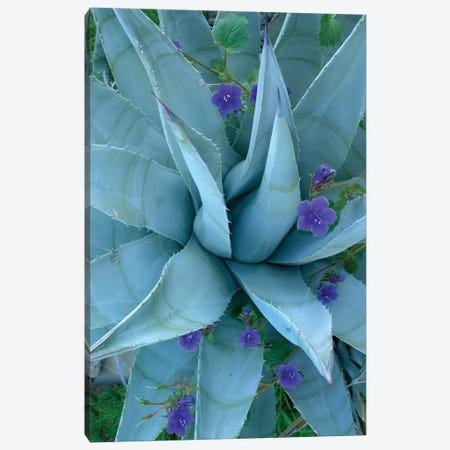 Bluebell And Agave, North America I Canvas Print #TFI111} by Tim Fitzharris Canvas Art