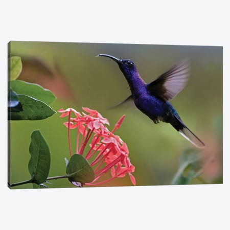 Violet Sabre-Wing Male Hummingbird Feeding At Flower, Costa Rica Canvas Print #TFI1124} by Tim Fitzharris Canvas Art Print