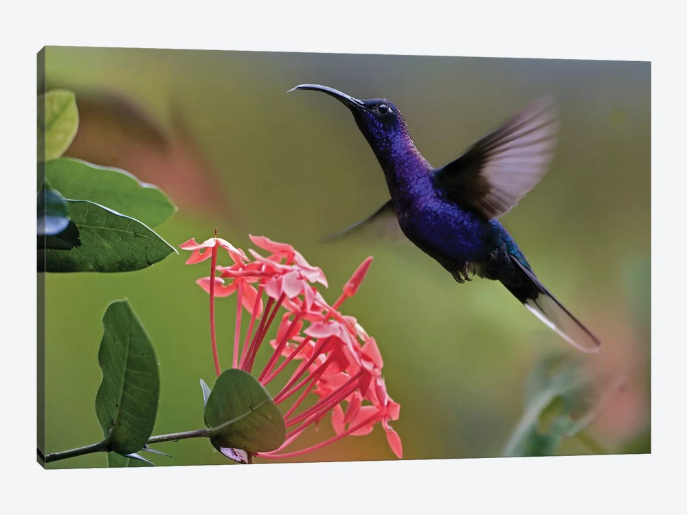 Violet Sabre-Wing Male Hummingbird Feeding At Flower, Costa Rica by Tim Fitzharris 1-piece Canvas Wall Art