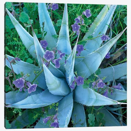Bluebell And Agave, North America II Canvas Print #TFI112} by Tim Fitzharris Canvas Wall Art