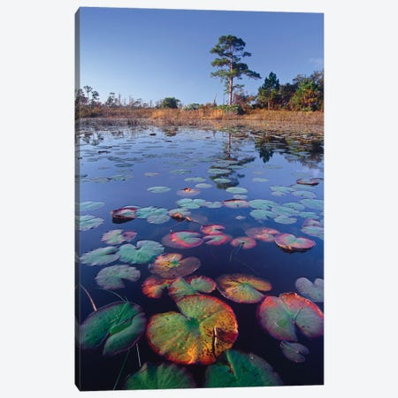 Waterlilies Floating In Pond, Jonathan Dickinson State Park Near Hobe Sound, Florida Canvas Print #TFI1136} by Tim Fitzharris Canvas Artwork