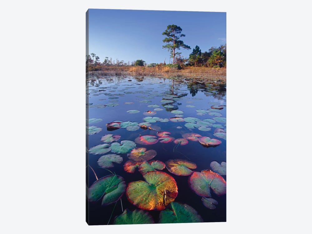 Waterlilies Floating In Pond, Jonathan Dickinson State Park Near Hobe Sound, Florida by Tim Fitzharris 1-piece Art Print