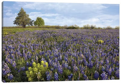 Bluebonnet And Lemon Paintbrush Meadow Near Albany, Texas Canvas Art Print