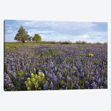 Bluebonnet And Lemon Paintbrush Meadow Near Albany, Texas Canvas Print #TFI113} by Tim Fitzharris Canvas Artwork