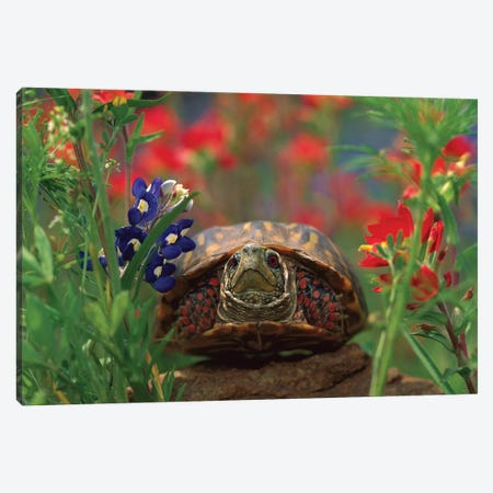 Western Box Turtle Among Lupine, North America And Paintbrush Canvas Print #TFI1144} by Tim Fitzharris Canvas Print