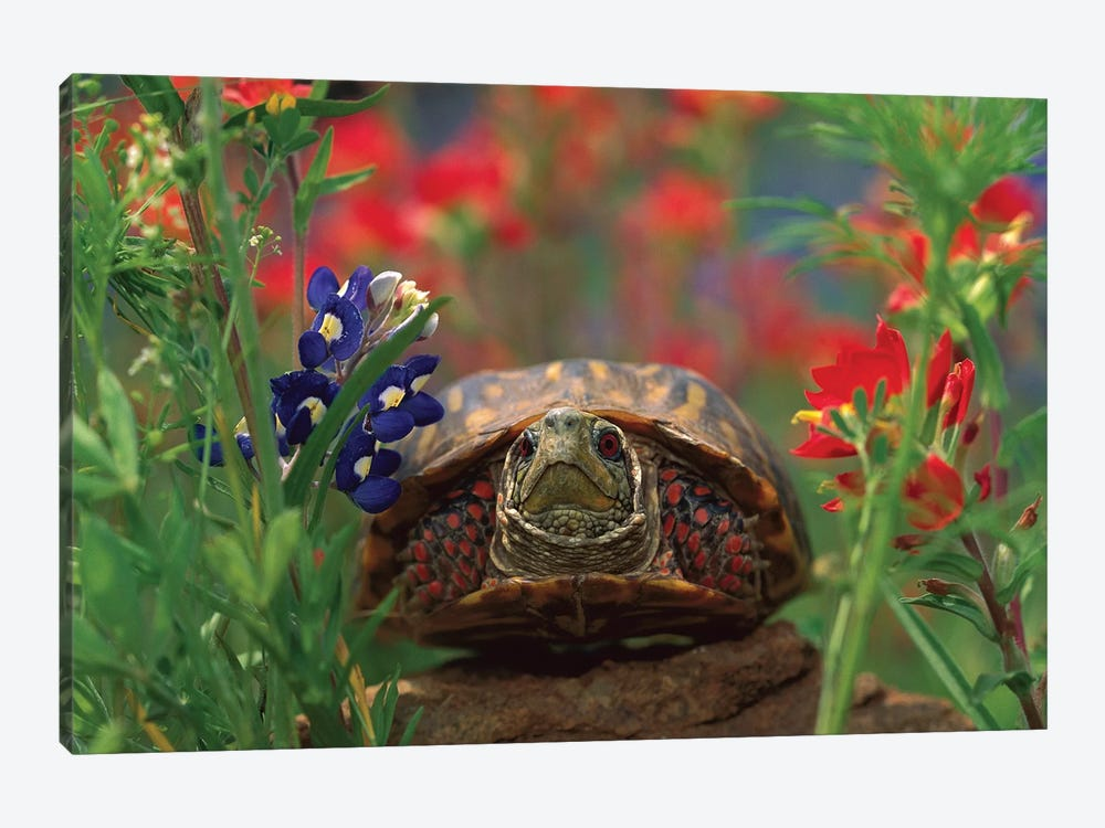 Western Box Turtle Among Lupine, North America And Paintbrush by Tim Fitzharris 1-piece Canvas Art