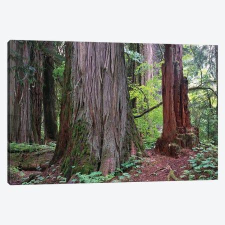 Western Red Cedar Grove Of The Patriarchs, Mt Rainier National Park, Washington Canvas Print #TFI1145} by Tim Fitzharris Canvas Art Print