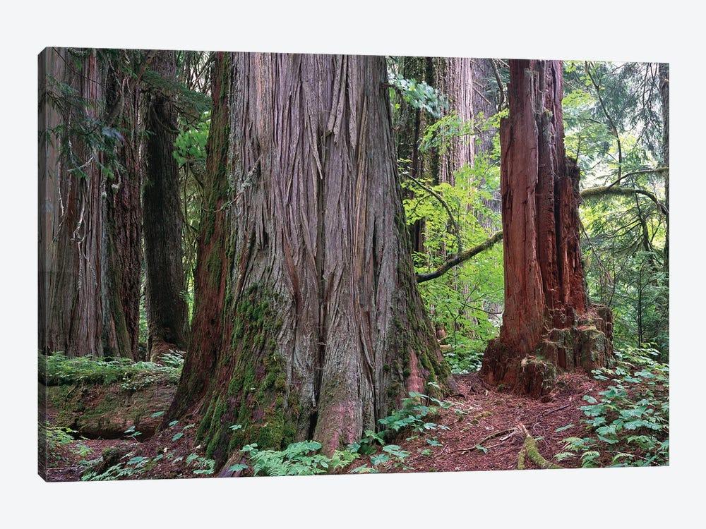 Western Red Cedar Grove Of The Patriarchs, Mt Rainier National Park, Washington by Tim Fitzharris 1-piece Canvas Art Print