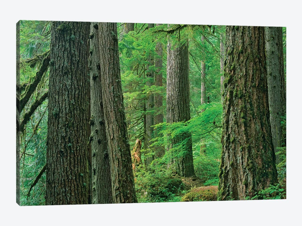 Western Red Cedar Old Growth Forest, Grove Of The Patriarchs, Mount Rainier National Park, Washington by Tim Fitzharris 1-piece Canvas Wall Art