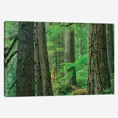 Western Red Cedar Old Growth Forest, Grove Of The Patriarchs, Mount Rainier National Park, Washington Canvas Print #TFI1146} by Tim Fitzharris Canvas Print