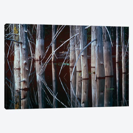 Western Red Cedar Trees, Oliphant Lake, British Columbia, Canada Canvas Print #TFI1147} by Tim Fitzharris Canvas Art Print