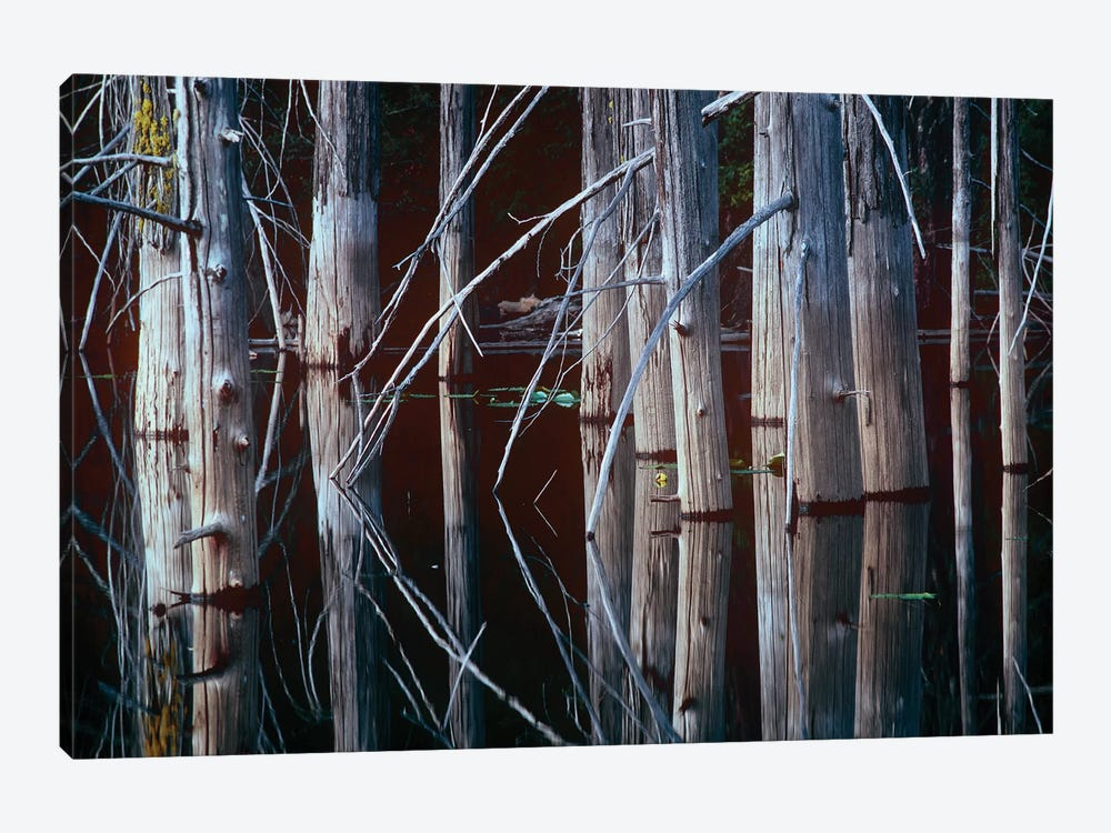 Western Red Cedar Trees, Oliphant Lake, British Columbia, Canada by Tim Fitzharris 1-piece Canvas Art Print