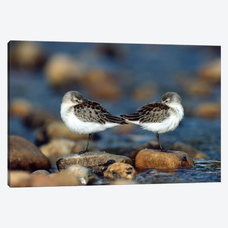 Western Sandpiper Pair Standing Back To Back With Beaks Tucked Under Wings, North America Canvas Print #TFI1148} by Tim Fitzharris Canvas Art