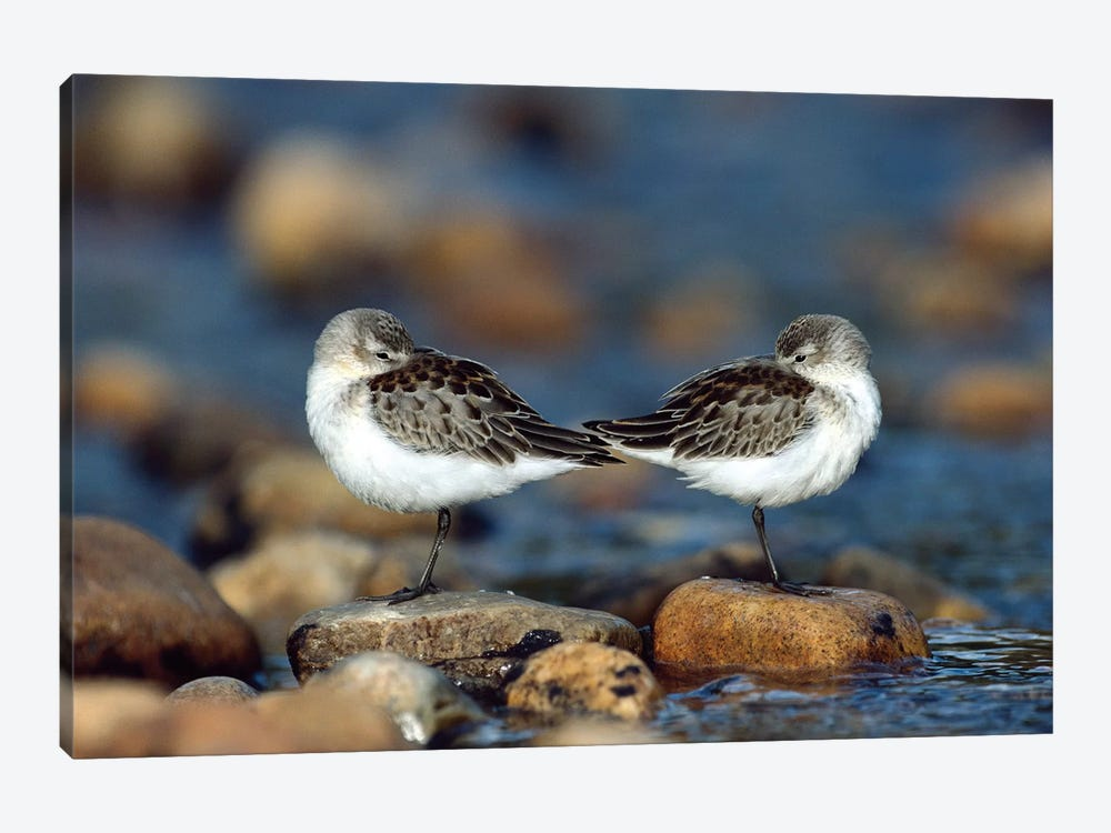 Western Sandpiper Pair Standing Back To Back With Beaks Tucked Under Wings, North America by Tim Fitzharris 1-piece Canvas Wall Art