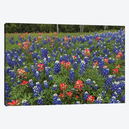 Bluebonnet And Paintbrush Meadow, Cedar Hill State Park, Texas Canvas Print #TFI114} by Tim Fitzharris Art Print