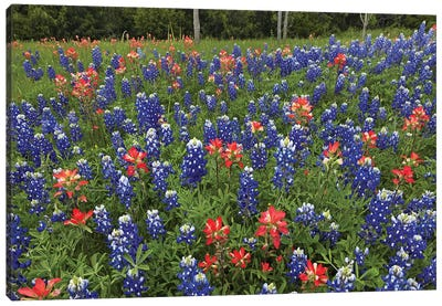 Bluebonnet And Paintbrush Meadow, Cedar Hill State Park, Texas Canvas Art Print
