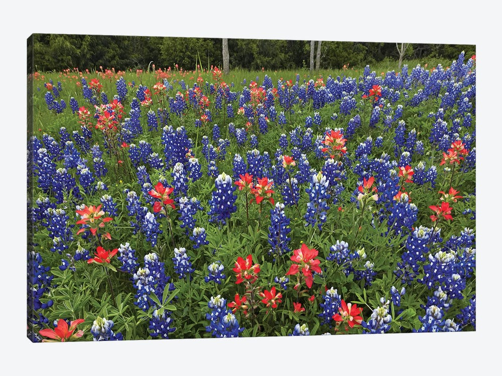 Bluebonnet And Paintbrush Meadow, Cedar Hill State Park, Texas by Tim Fitzharris 1-piece Canvas Artwork