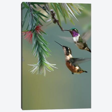 White-Bellied Woodstar Hummingbird Male And Female Feeding On Flower, Costa Rica Canvas Print #TFI1153} by Tim Fitzharris Canvas Print