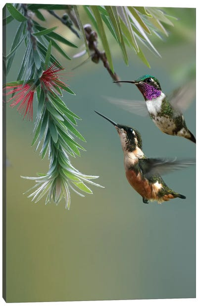 White-Bellied Woodstar Hummingbird Male And Female Feeding On Flower, Costa Rica Canvas Art Print