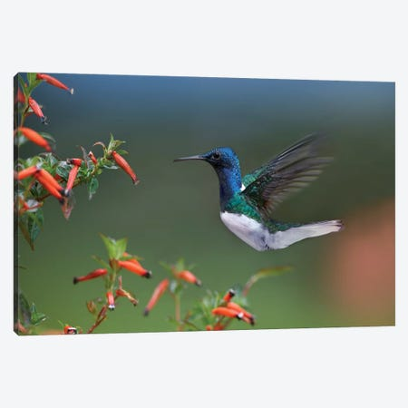 White-Necked Jacobin Hummingbird Male Foraging, Costa Rica Canvas Print #TFI1154} by Tim Fitzharris Canvas Art