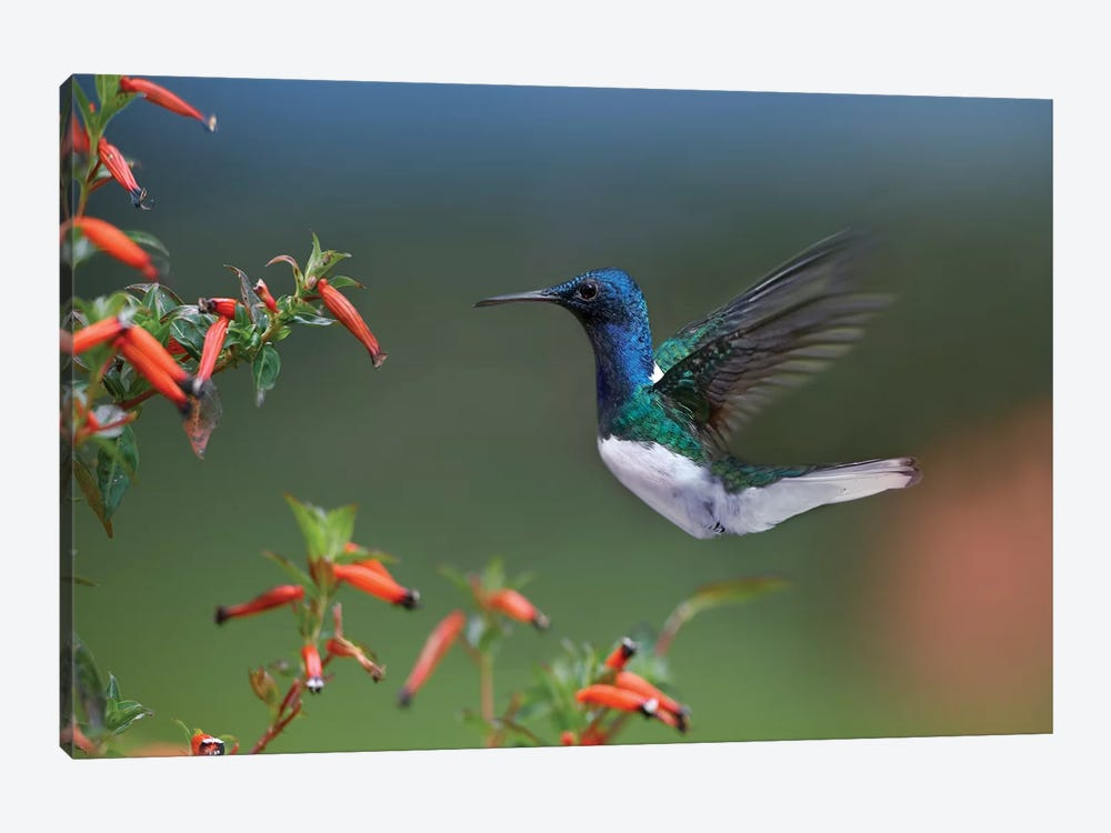 White-Necked Jacobin Hummingbird Male Foraging, Costa Rica by Tim Fitzharris 1-piece Canvas Art Print