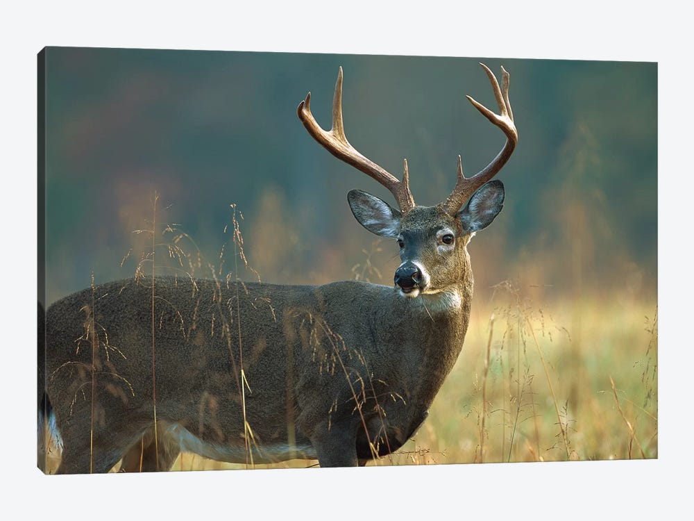White-Tailed Deer Portrait, North America by Tim Fitzharris 1-piece Canvas Art