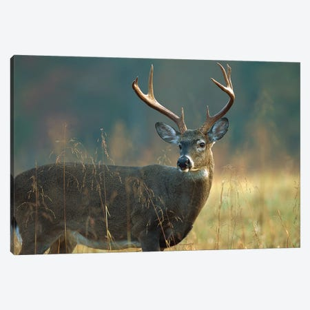 White-Tailed Deer Portrait, North America Canvas Print #TFI1155} by Tim Fitzharris Canvas Wall Art