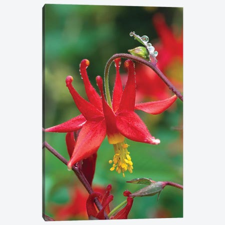 Wild Columbine With Drops Of Dew, North America Canvas Print #TFI1156} by Tim Fitzharris Canvas Art