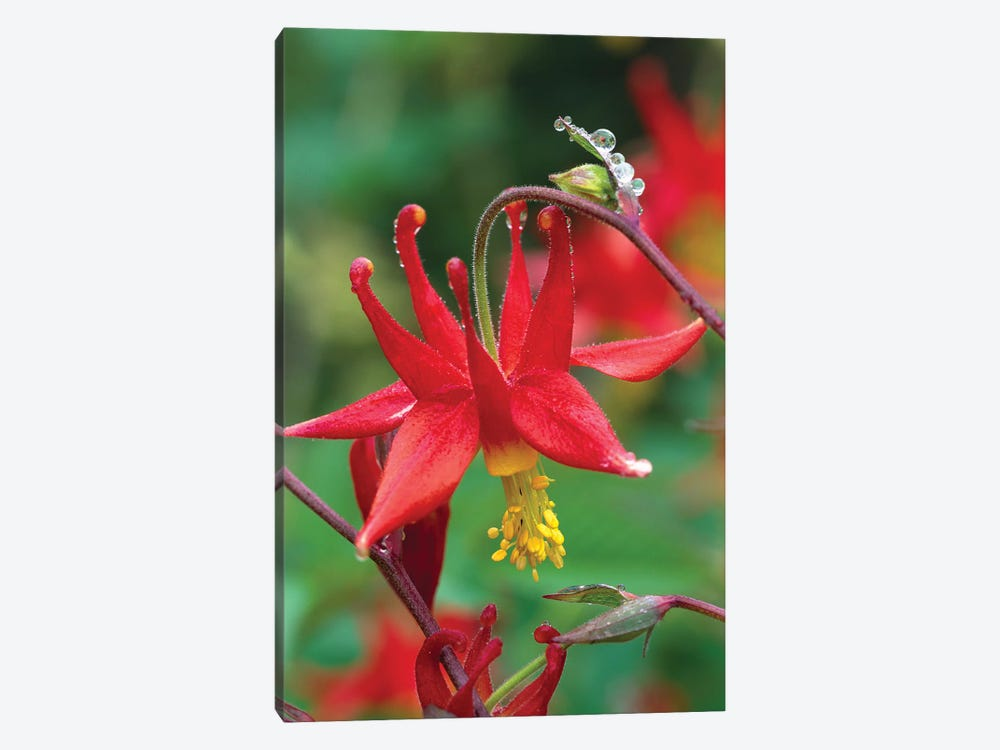 Wild Columbine With Drops Of Dew, North America by Tim Fitzharris 1-piece Canvas Art Print