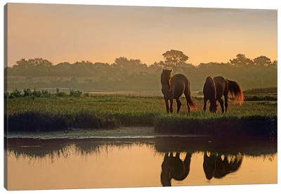 Wild Horse Pair Grazing At Assateague Island National Seashore, Maryland Canvas Art Print