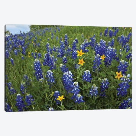 Bluebonnet And Texas Yellowstar Meadow, Cedar Hill State Park, Texas Canvas Print #TFI115} by Tim Fitzharris Art Print