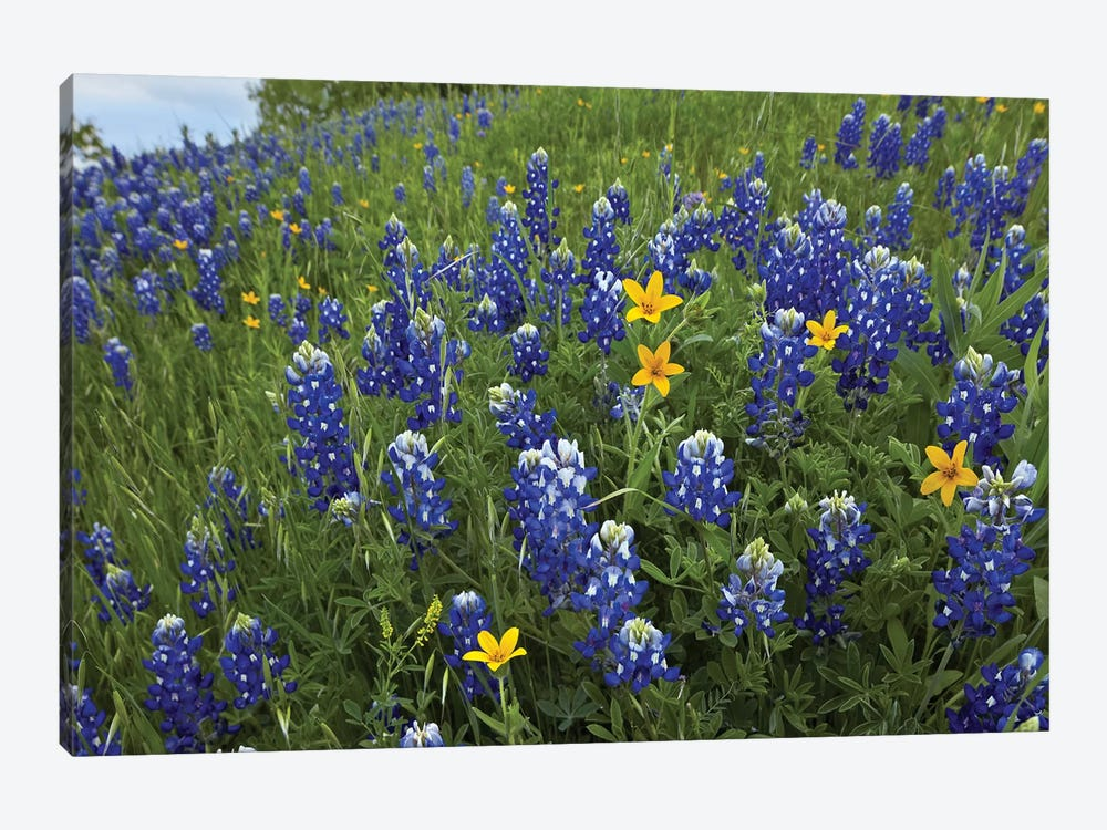 Bluebonnet And Texas Yellowstar Meadow, Cedar Hill State Park, Texas by Tim Fitzharris 1-piece Canvas Art Print