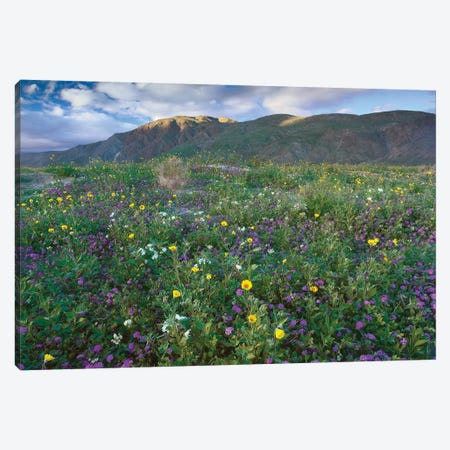 Wildflowers Carpeting The Ground Beneath Coyote Peak, Anza-Borrego Desert, California Canvas Print #TFI1163} by Tim Fitzharris Canvas Wall Art
