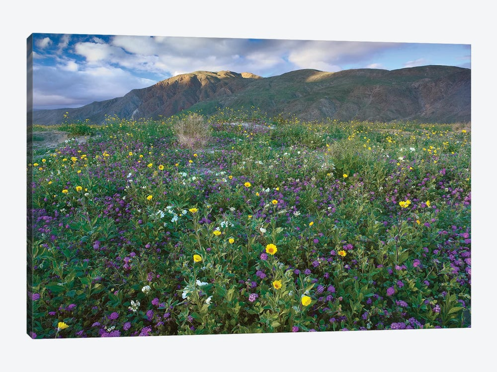 Wildflowers Carpeting The Ground Beneath Coyote Peak, Anza-Borrego Desert, California by Tim Fitzharris 1-piece Canvas Print