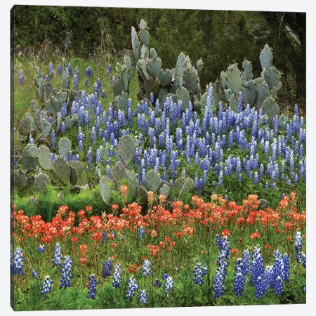 Bluebonnet, Paintbrush Cactus, Texas And Pricky Pear - Horizontal Canvas Print #TFI116} by Tim Fitzharris Canvas Print