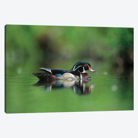 Wood Duck Male Portrait, British Columbia, Canada Canvas Print #TFI1179} by Tim Fitzharris Canvas Art Print