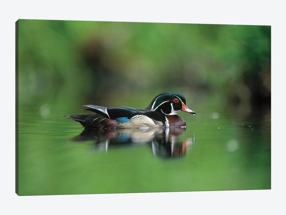 Wood Duck Male Portrait, British Columbia, Canada by Tim Fitzharris 1-piece Canvas Artwork