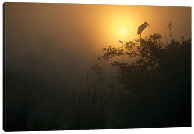 Wood Stork Perched In Tree, Everglades National Park, Florida Canvas Art Print