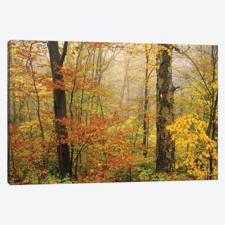 Yellow Birch American Beech Mixed Deciduous Forest In Autumn, Mill Brook, Vermont And Striped Maple Canvas Print #TFI1185} by Tim Fitzharris Canvas Art Print