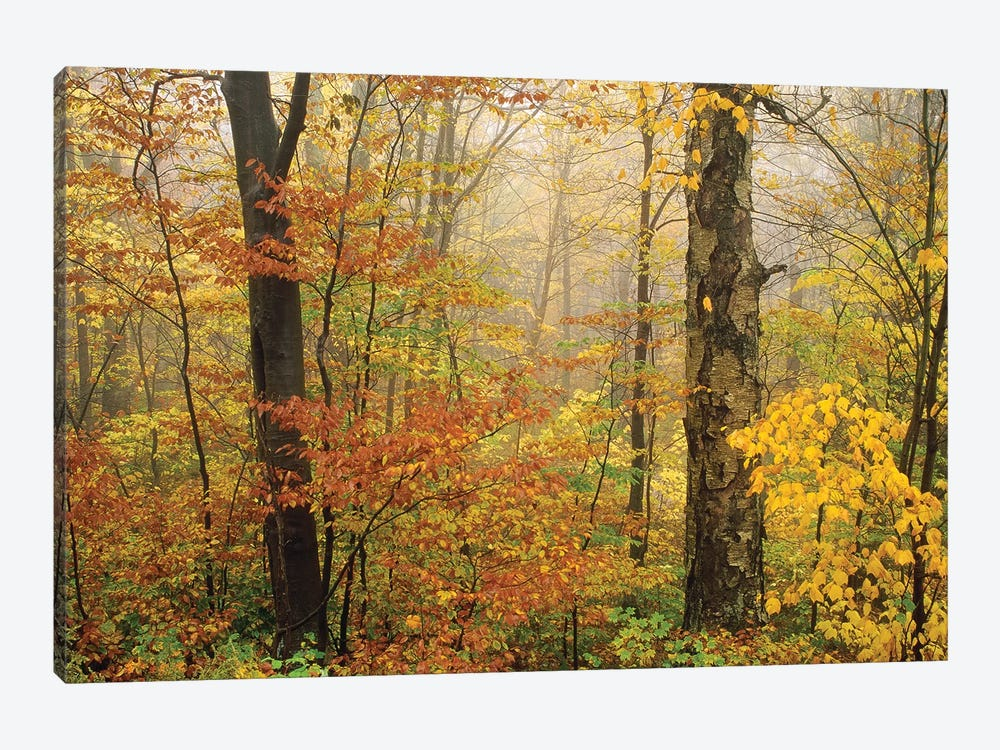 Yellow Birch American Beech Mixed Deciduous Forest In Autumn, Mill Brook, Vermont And Striped Maple by Tim Fitzharris 1-piece Canvas Print