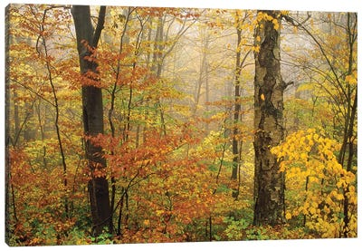 Yellow Birch American Beech Mixed Deciduous Forest In Autumn, Mill Brook, Vermont And Striped Maple Canvas Art Print