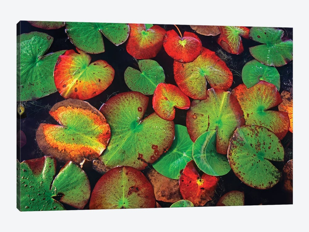 Yellow Pond Lily Close Up Of Pads, North America by Tim Fitzharris 1-piece Canvas Artwork