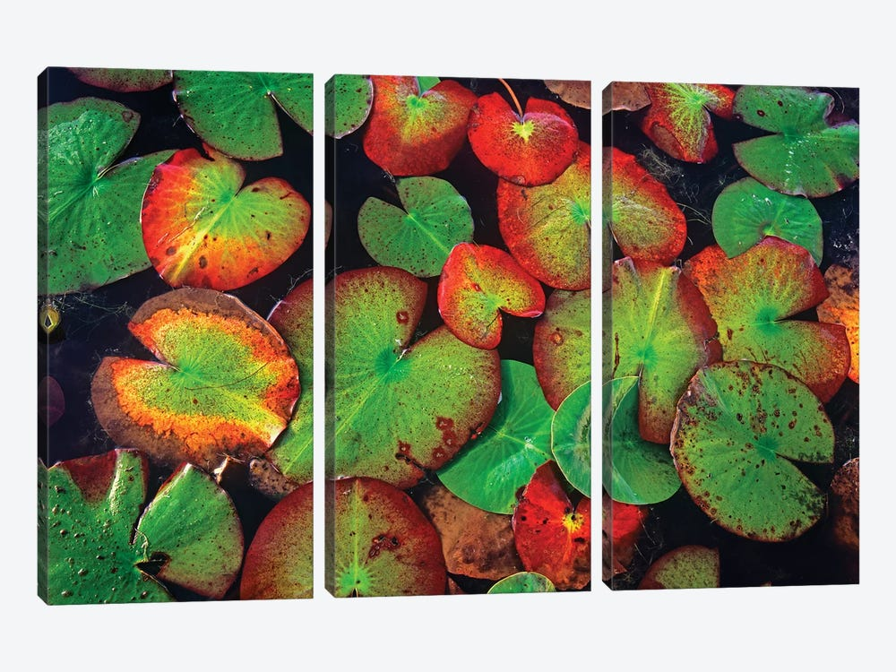 Yellow Pond Lily Close Up Of Pads, North America by Tim Fitzharris 3-piece Canvas Art