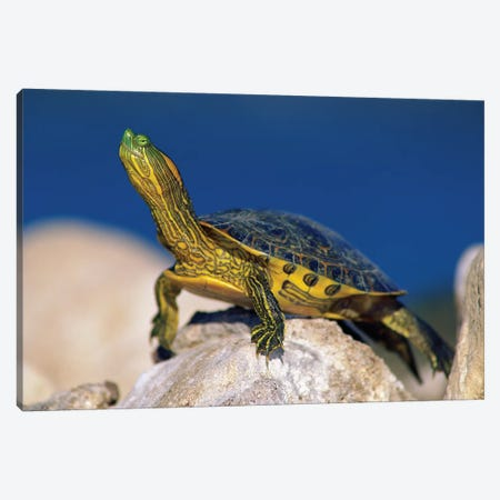 Yellow-Bellied Slider Turtle, North America Canvas Print #TFI1187} by Tim Fitzharris Canvas Print