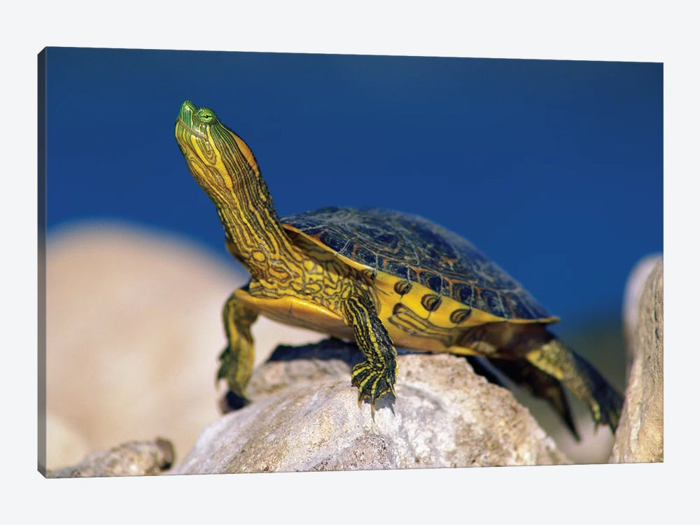 Yellow-Bellied Slider Turtle, North America by Tim Fitzharris 1-piece Canvas Print