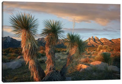 Yucca And Organ Mountains Near Las Cruces, New Mexico Canvas Art Print