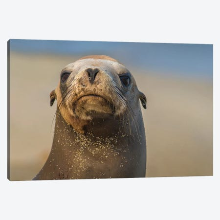 California Sea Lion, La Jolla, California Canvas Print #TFI1197} by Tim Fitzharris Canvas Wall Art