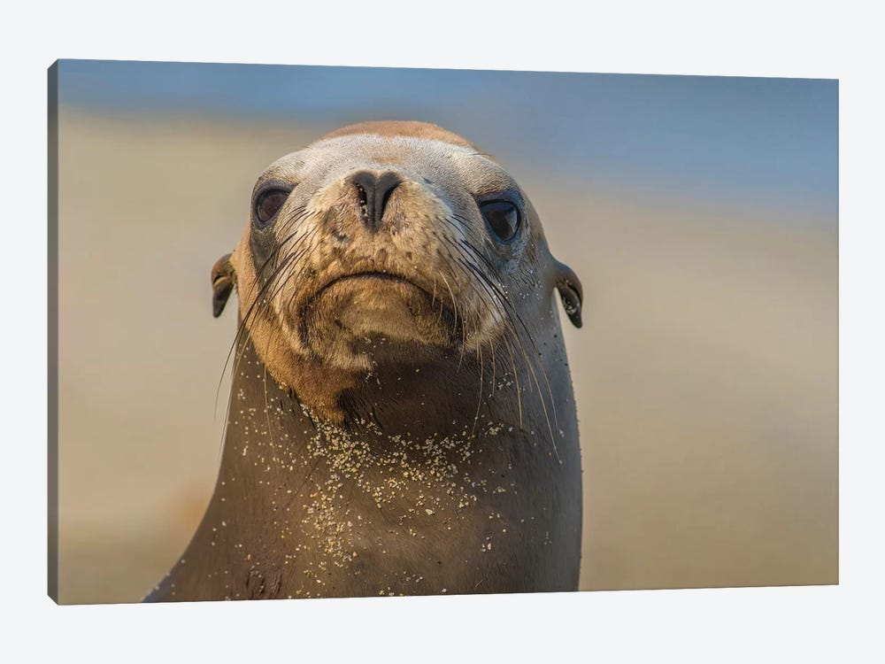 California Sea Lion, La Jolla, California by Tim Fitzharris 1-piece Canvas Artwork