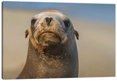 California Sea Lion, La Jolla, California Canvas Art Print